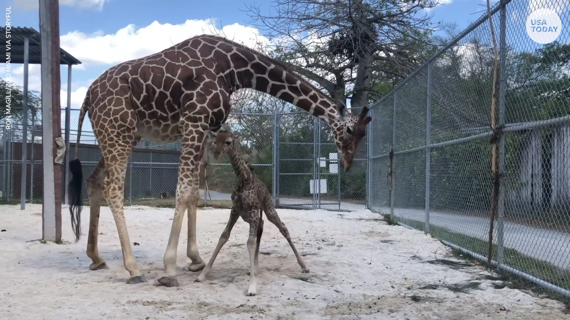 Adorable baby giraffe wobbles through first steps minutes after being born at Miami zoo
