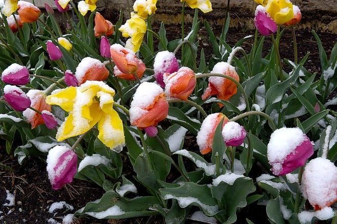 Tulips at Columbia College struggle to survive after a light dusting of snow early Tuesday morning. After below-freezing temperatures overnight, the National Weather Service forecasts a high near 51 degrees on Wednesday.