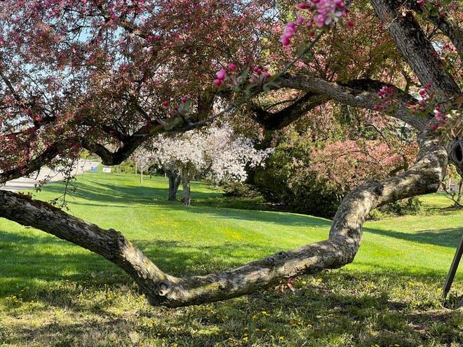 Freezing temperatures on Wednesday threaten the ongoing bloom of the crabapple trees at the Secrest Arboretum.