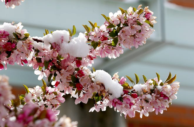 Approximately two inches of snow fell in the Hutchinson area, covering spring blossoms on the Hutchinson Community College campus. Forecasters predict sub-freezing temperatures, possibly as low as 25, overnight into Wednesday morning across the central and south central part of Kansas.