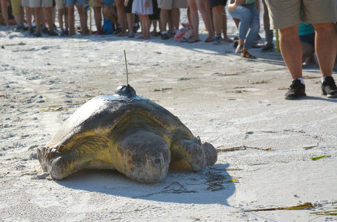 Bortie, a 200-pound female loggerhead sea turtle, was released off Coquina Beach in 2018. A GPS tracker, which was attached using epoxy, indicates she is headed back toward Southwest Florida.