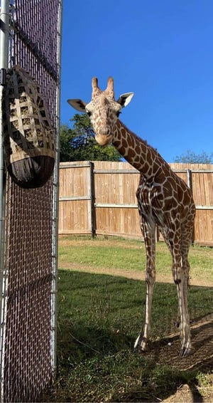 The Topeka Zoo bid farewell Monday to Konza the giraffe, shown here.