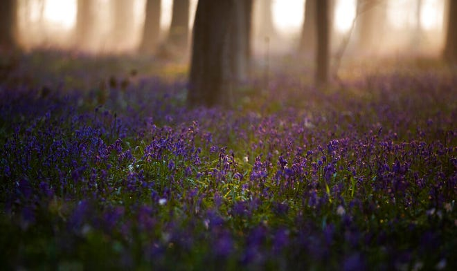 The sun rises between the trees as bluebells, also known as wild Hyacinth, bloom on the forest floor of the Hallerbos in Halle, Belgium, Tuesday, April 20, 2021. There is no stopping flowers when they bloom or blossoms when they burst in nature, but there are efforts by some local authorities to limit the viewing. Due to COVID-19 restrictions visits to the forest to see the flowers has been discouraged for a second year in a row. (AP Photo/Virginia Mayo)