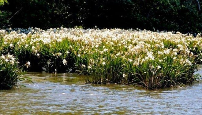 The Shoals Lily will be in bloom in May on the Broad River.
