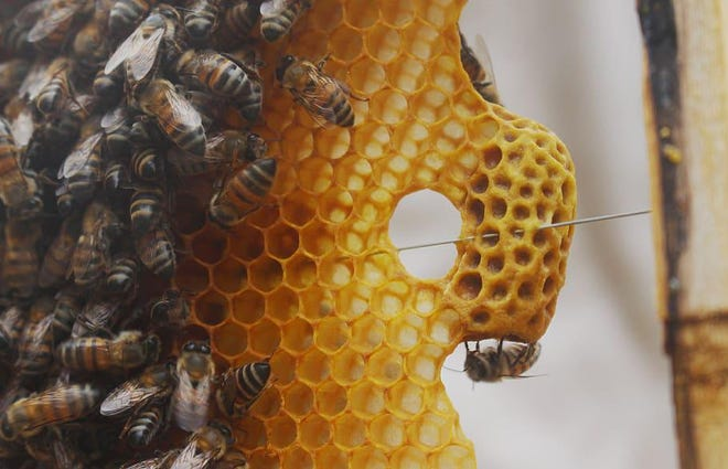 The keeping of bees and the processing of honey and beeswax products is a new program being introduced at Penn Yan Academy.