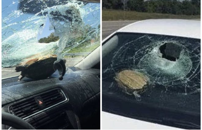 Florida Highway Patrol investigators said this turtle, which was kicked up in the air by a vehicle, crashed into the windshield of another vehicle on Interstate 4 in May 2016. A similar incident happened on Interstate 95 near Port Orange on Wednesday (April 21, 2021) and a woman was injured in the head.