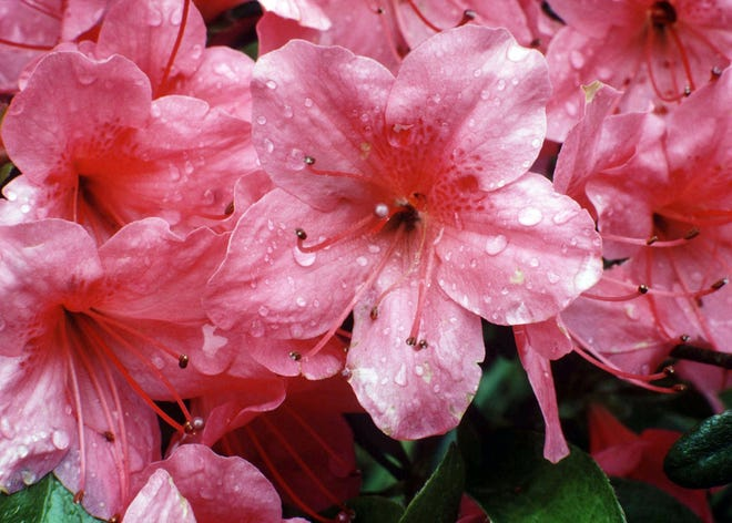 Dogwood is among the fire-resistant choices to plant in your landscape.