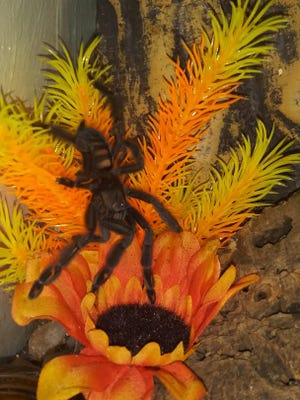 "Daenerys is a female Venezuelan Suntiger Tarantula (psalmopoeus irminia). Female tarantulas tend to live longer than males, said Dan Pompili, who owns Daenerys, or ""Dany,"" as well as 29 other tarantulas."