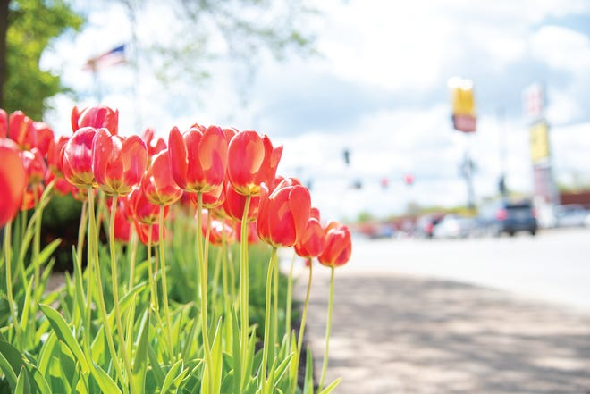 Red tulips are seen outside of U.S. Bank in Eldon.