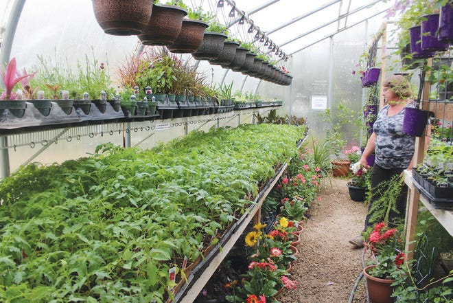 Ellen Mohler looks over her vast array of tomato plant varieties, hoping for warm weather that will bring customers to her greenhouse just north of Sawyer off U.S. Highway 281.