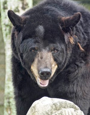 Black bears are common throughout Alabama, and one recently has been captured on game cameras in Etowah County.
