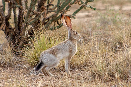 An American desert hare.