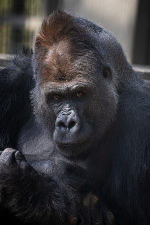 Oliver, a silverback Western lowland gorilla, was transferred to the Milwaukee County Zoo April 20.