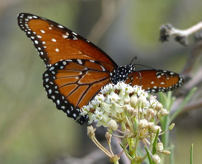 A queen butterfly takes nectar from an Engelmann's milkweed flower.