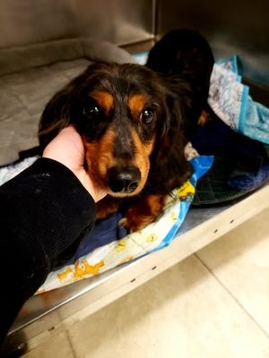 Marty McFly, a dachshund at St. Clair County Animal Control's shelter, was found abandoned by the side of the road in Cottrellville Township.
