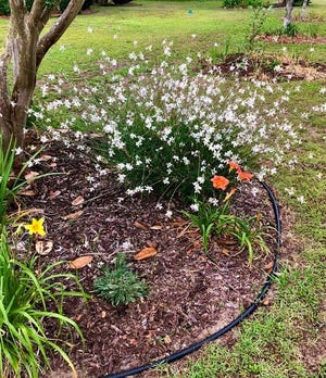 Gaura, also known as whirling butterflies or Lindheimer's beeblossom, blooming in May of last year in full sun.