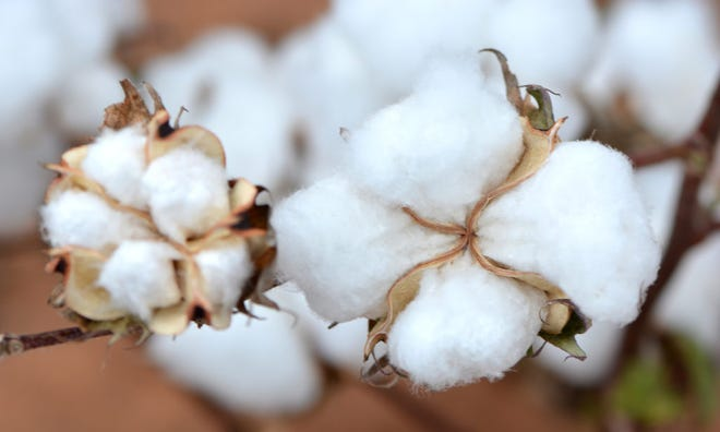 Drought conditions could hurt cotton yields, but good prices and strong demand could improve the overall outlook for farmers.