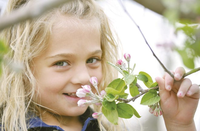 Gabriella Santucci is seen with some of the apple blossoms at Sholan Farms in 2010.