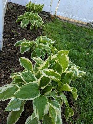 Abbey shares how her out of control hosta and rhubarb plants led to a discovery of friendly trading.