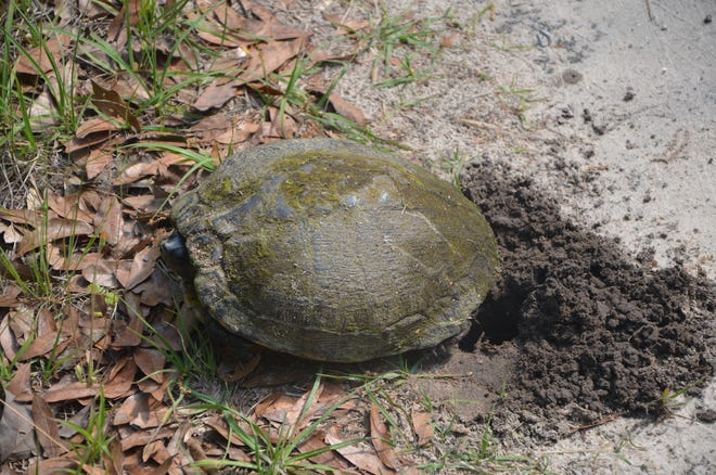 Turtles are currently digging egg burrows. If disturbed momma turtle will leave the hole unfilled and open to speculation.