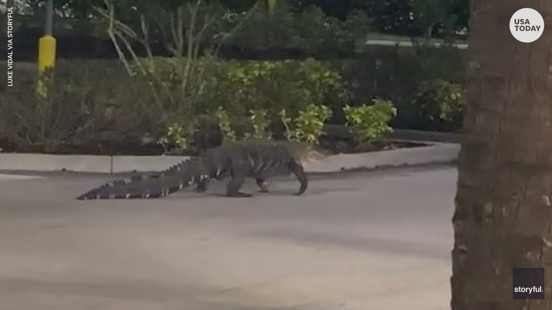 This giant alligator casually strolled through supermarket parking lot in Florida