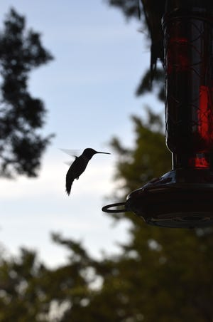 This black-chinned male hummingbird takes a break from feeding to hold just inches from a backyard feeder. The tiny birds are welcome visitors throughout the Hill Country.
