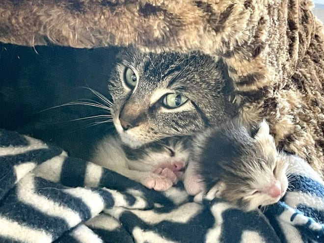 Mother cat Gamora and her kittens are waiting for a foster home at the Williamson County Regional Animal Shelter.