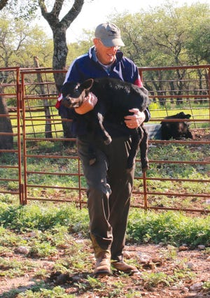 Charles Jenkins carries one of the triplet calves toward the other triplets and the mama cow for a family photo.