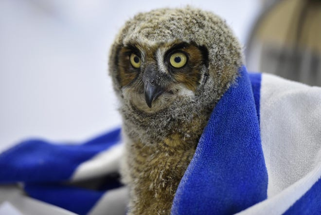 A young great horned owl awaits one of the three mice it is fed each day at the Birdsey Cape Wildlife Center as it continues to recover from being poisoned.
