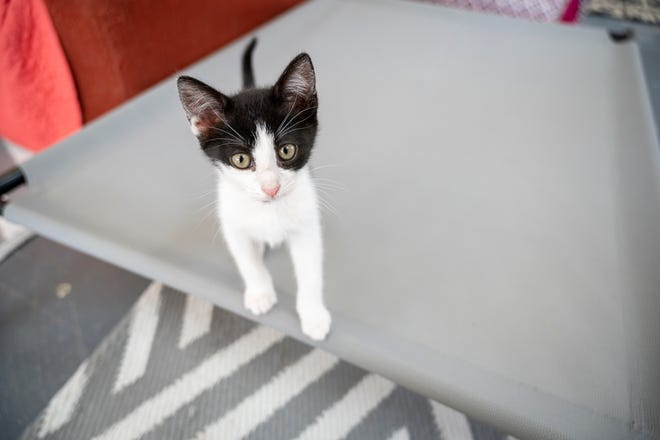 A kitten plays on a bed at Hoffmeyer Animal Rescue in Tavares. [Cindy Peterson/Correspondent]