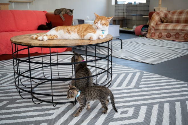 Cats lounge around the room at Hoffmeyer Animal Rescue in Tavares. [Cindy Peterson/Correspondent]