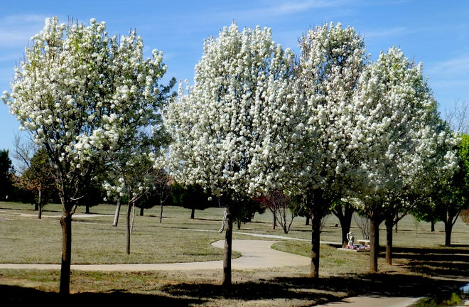 Bradford pears in full bloom enhance a local park's graceful pathway. Support Arbor Day by planting a tree for aesthetic appeal and to generate oxygen for many households while capturing CO2.