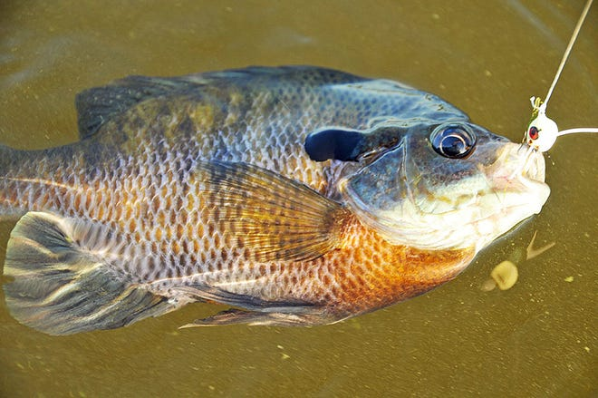 Bluegill provide great spring fishing with the added bonus of a fine fillet dinner.