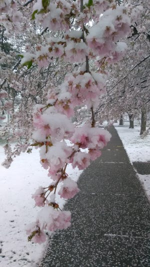 Tree blossoms in the snow on North Main Street in Canandaigua.