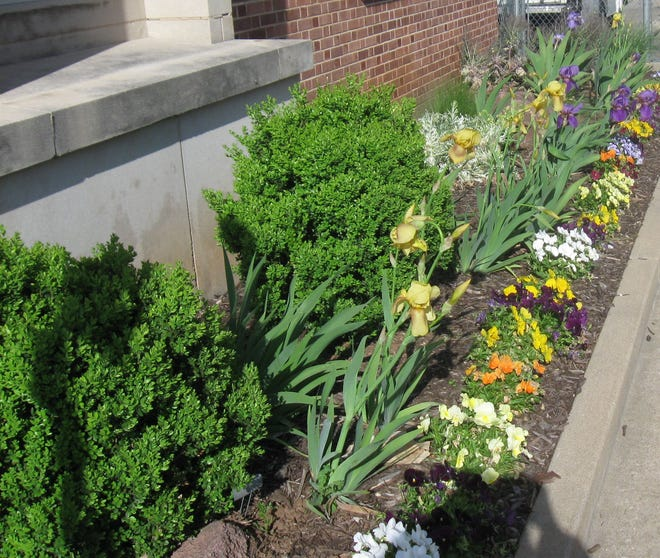 Boxwood shrubs at post office weathered the winter storms