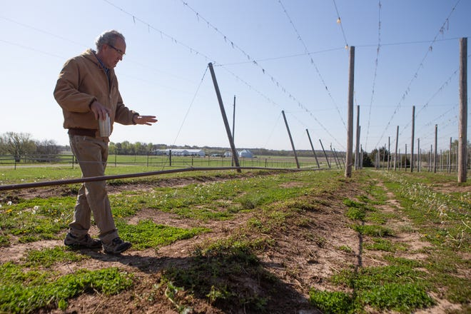Clyde Sylvester looks over his new crop of hops last Wednesday at his farm outside of Ottawa. Sylvester has made adjustments to his field to assist the growth of hops, including lights and drip irrigation to create proper growing conditions in an area of the country where hops typically aren't grown.