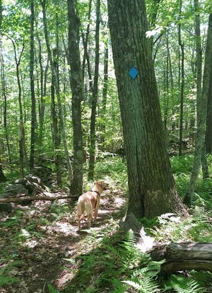 A trail in Patrill Hollow Preserve in Hardwick, where the weekend treasure hunt will be held.