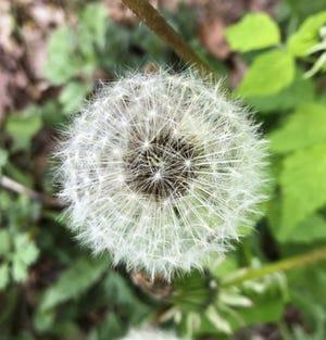 Dandelion, waiting for a breeze.