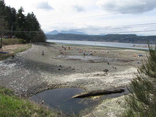 Navy officials released this photo, taken April 1, 2021, showing an oyster harvest by the Port Gamble S'Klallam Tribe at Devil's Hole at Naval Base Kitsap-Bangor.