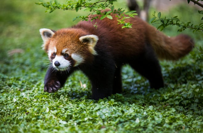 That face! How cute is that? Lucas was born June 23, 2020, and already, his head is bigger than his mom, Lin. See these red pandas at the Cincinnati Zoo and Botanical Garden. Photo taken April 16, 2021.