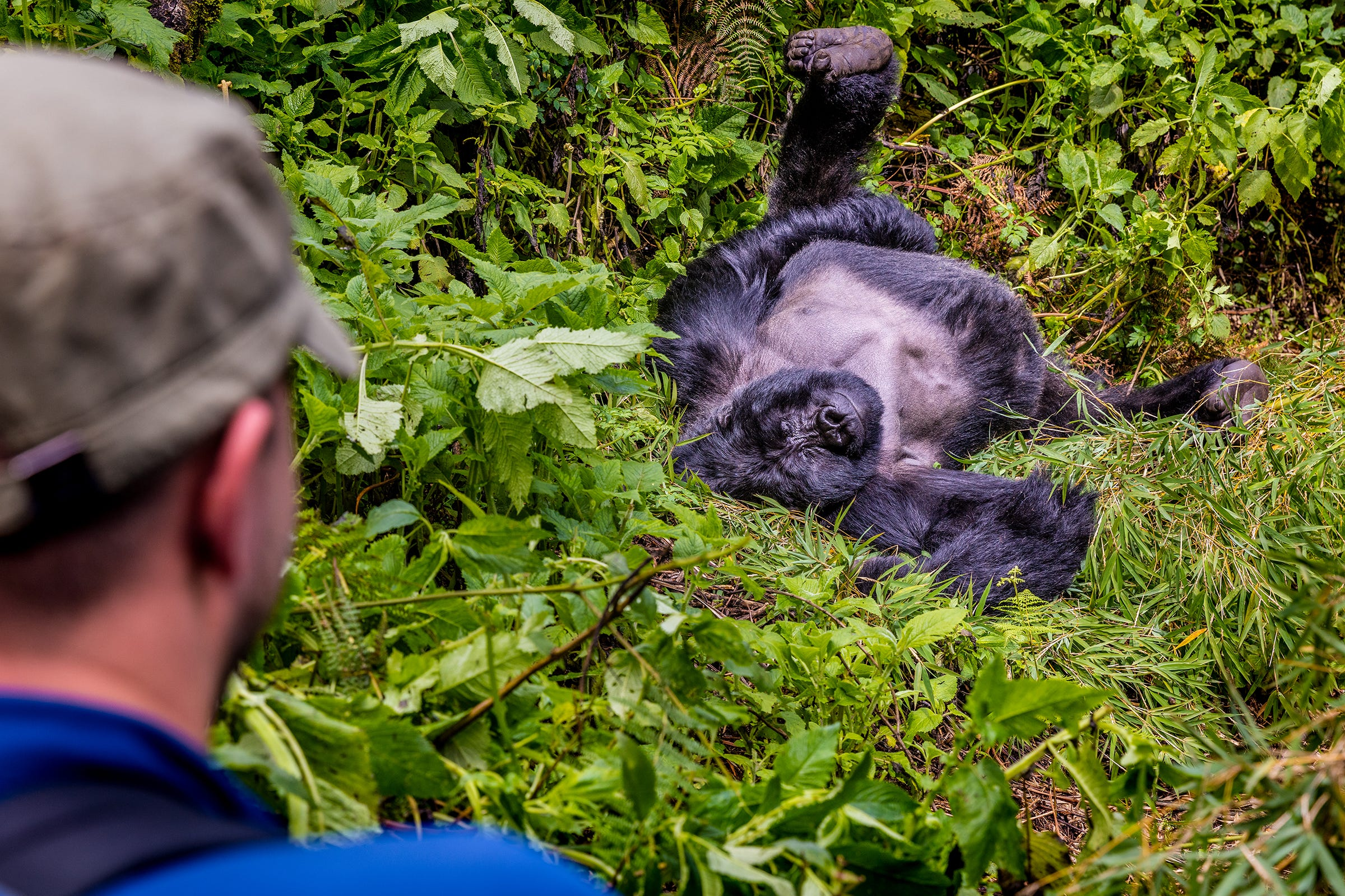 In East Africa, mountain gorillas and a new paradigm for wildlife travel 1