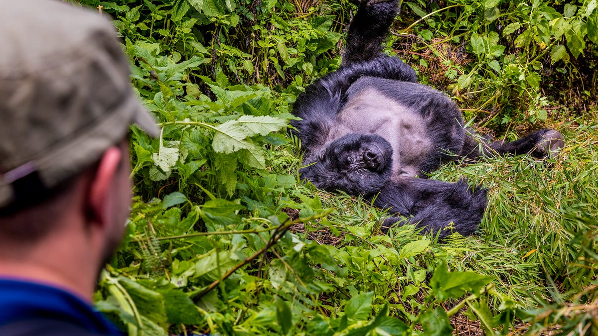 In East Africa, mountain gorillas and a new paradigm for wildlife travel 2