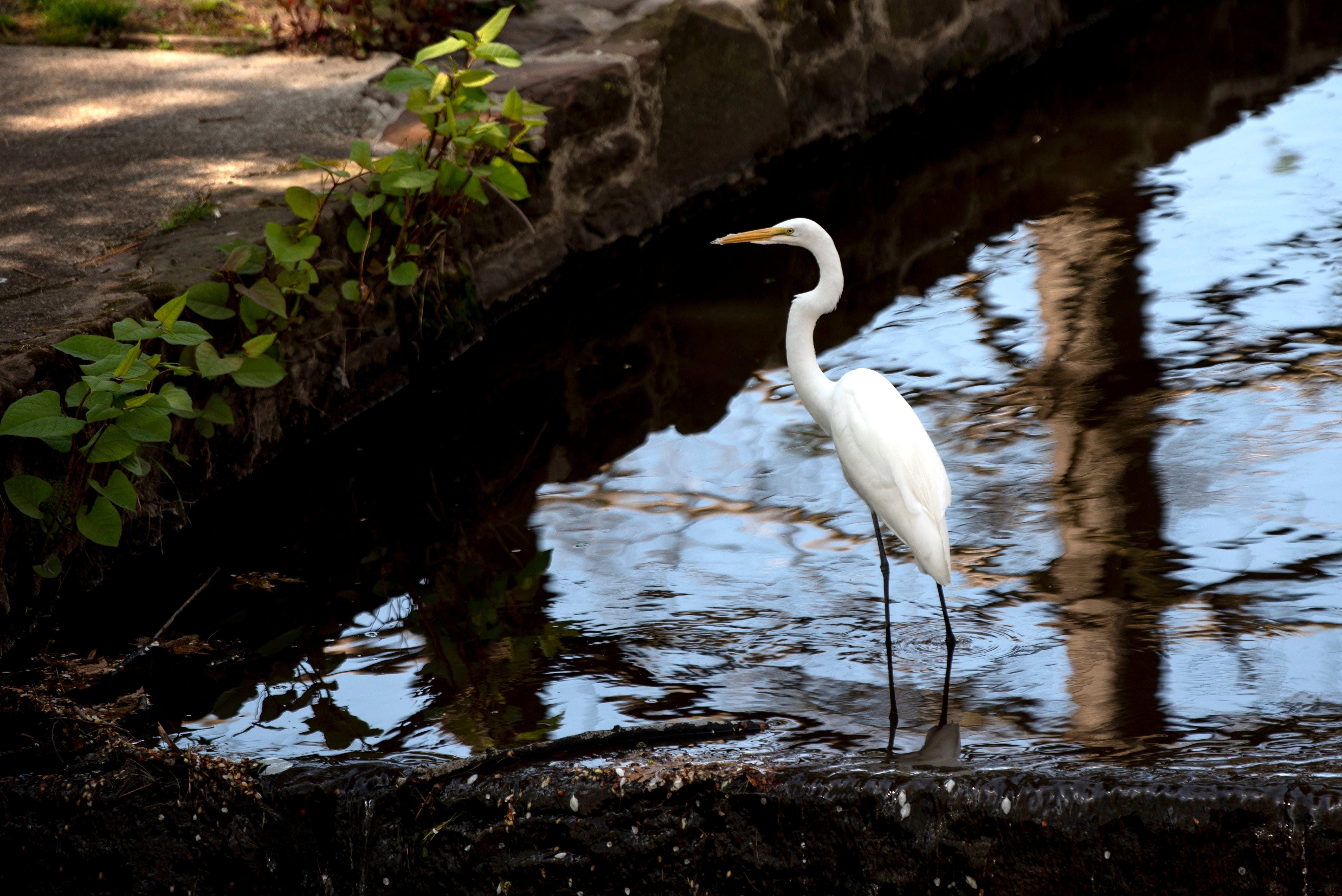 An egret walks in the water of McDanolds Brook near Third Ward Park in Passaic on Friday, April 23, 2021.