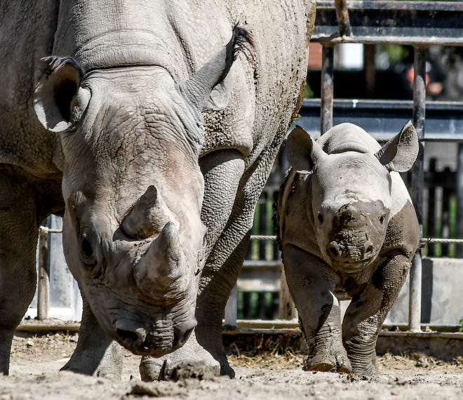 Ayubu, right, the black rhino calf, is partially covered in mud as he beat his mom, Johari, into the mud puddle to play in their exhibit at Lee Richardson Zoo. Both take advantage of rolling around in the mud. Ayubu celebrated his three month birthday on April 20.