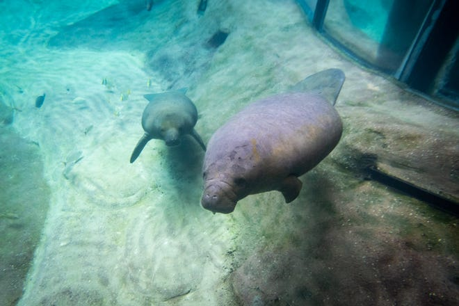 Two manatees, Einstein (left) and Acorn, arrived at the Columbus Zoo and Aquarium on Saturday from ZooTampa.