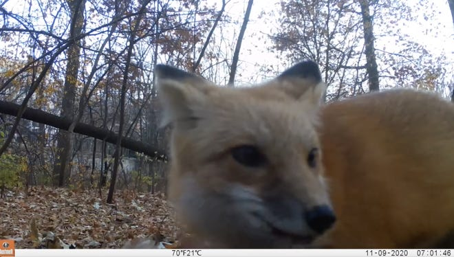 Iowa State students in Dr. Mike Rentz's mammalogy class are studying Earl the red fox and other foxes on campus. They're asking for public input regarding sightings of foxes around campus and the community.