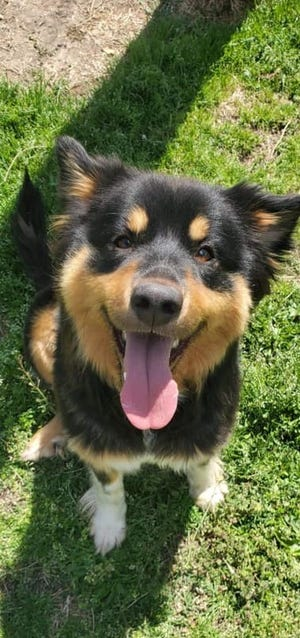 Sheba is a 2-year-old Australian Shepherd mix at the WCSPCA looking for a loving home.
