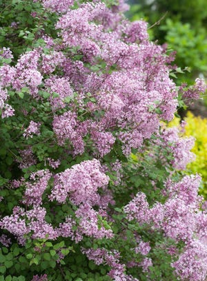 Once the blooms fade, you can prune lilac shrubs.