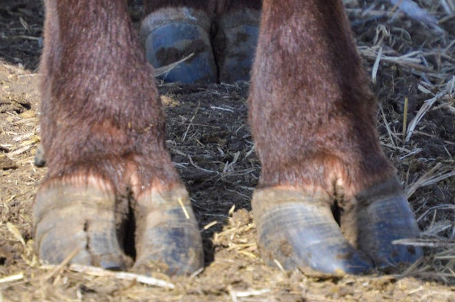 Feet issues such as vertical cracks can be a concern at calving time.