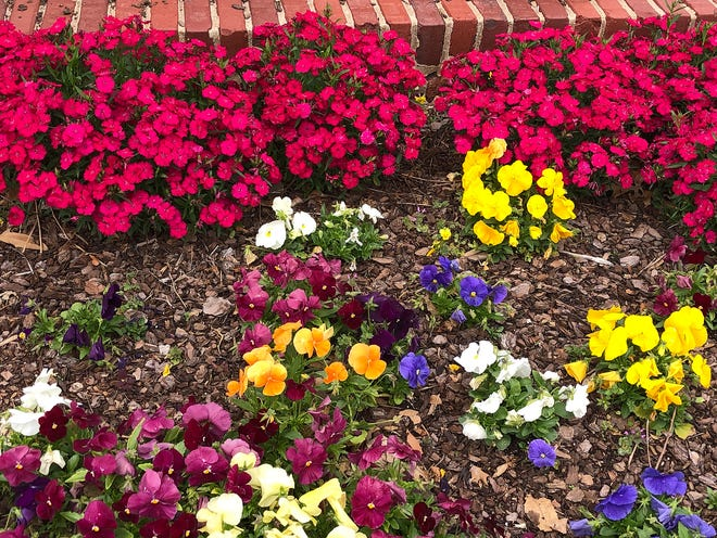 Pansies wrap up their cool season flowers as the Dianthus flowers take over with the change of seasons at Will Rogers Park in Oklahoma City.